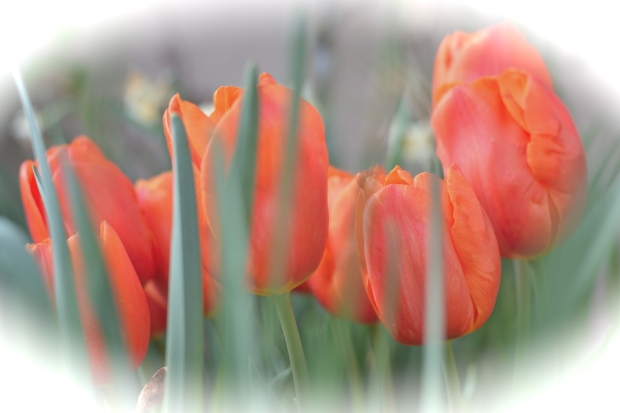 red tulips 3