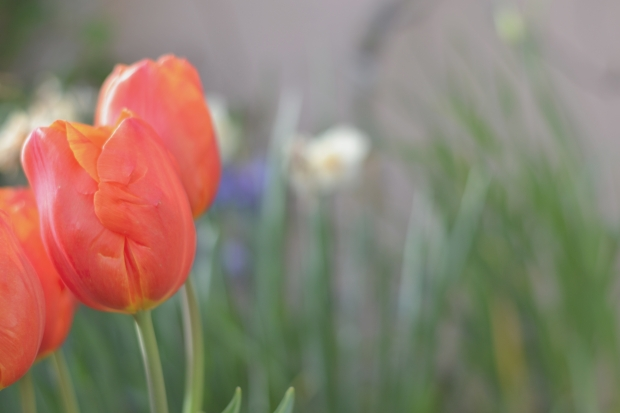 red tulips 5